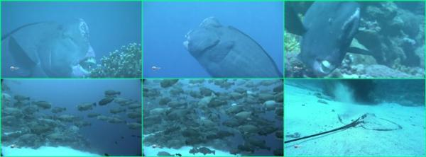 Рыба-попугай. Палау / Bumphead Parrotfish. Palau (2012)