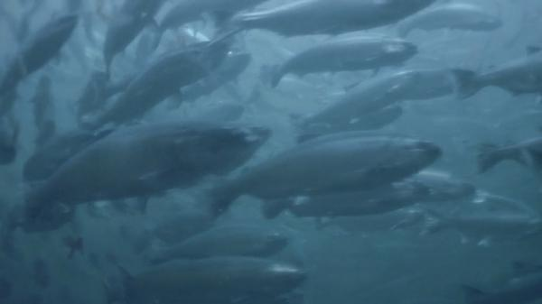 Великий Исход Лосося / The Great Salmon Run (2009)
